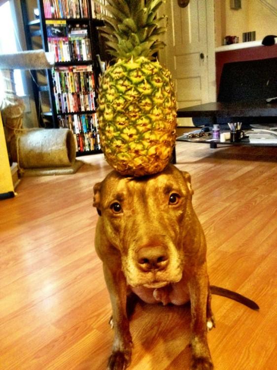 Perro que sostiene cosas en la cabeza con una piña encima