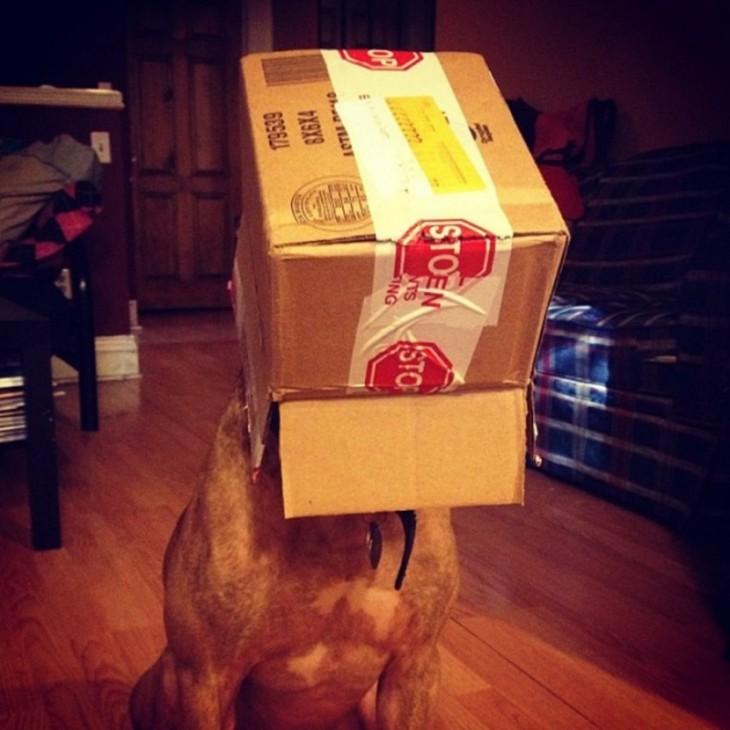 Scout perro que sostiene cosas en la cabeza con una caja encima