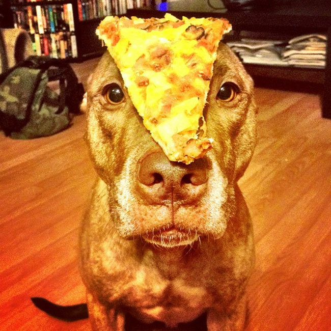 Perro que sostiene cosas en la cabeza con una pizza encima