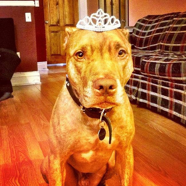 Perro sostiene cosas en la cabeza con una corona encima