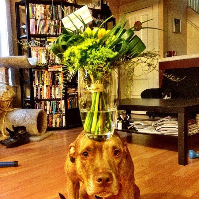 Perro sostiene cosas en la cabeza con un florero encima