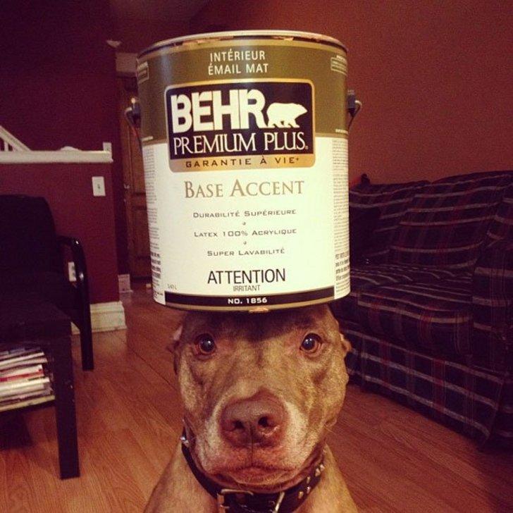 Scout perro que sostiene cosas en su cabeza con un bote encima