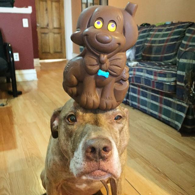 Perro sostiene cosas en la cabeza con un juguete encima