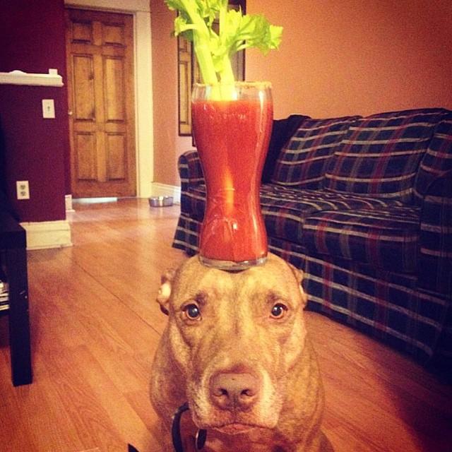 Perro sostiene cosas en la cabeza con una bebida encima