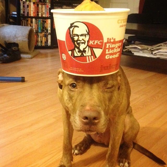 Perro sostiene cosas en la cabeza con un bote de KFC encima