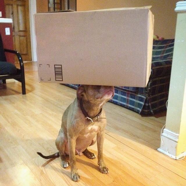 Perro sostiene cosas en la cabeza sosteniendo una caja encima de él