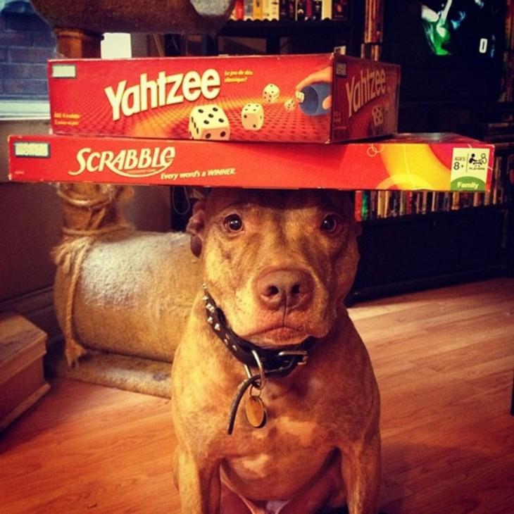 Perro que sostiene cosas en la cabeza con unas cajas encima