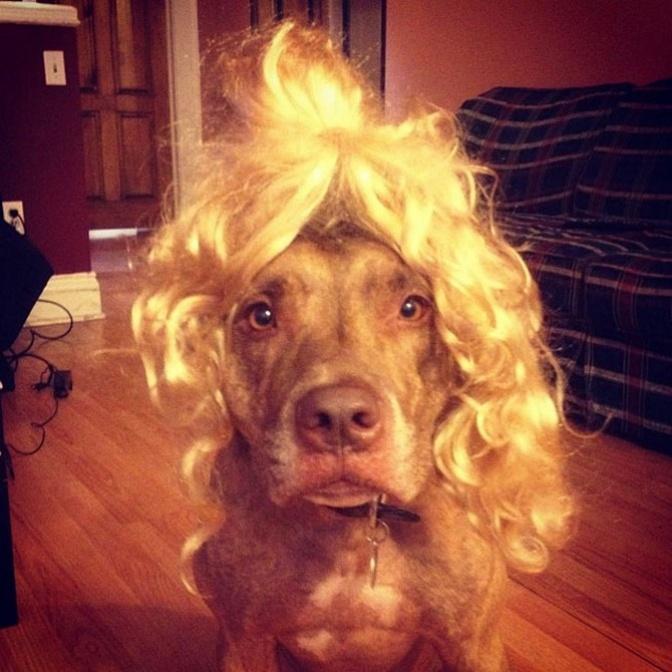 Perro sostiene cosas en la cabeza con una peluca encima