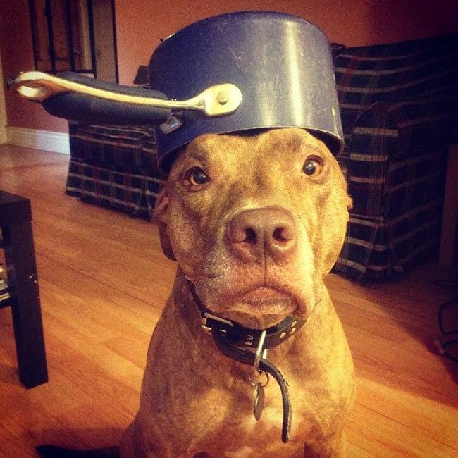 Perro sotiene cosas en la cabeza con un sarten encima
