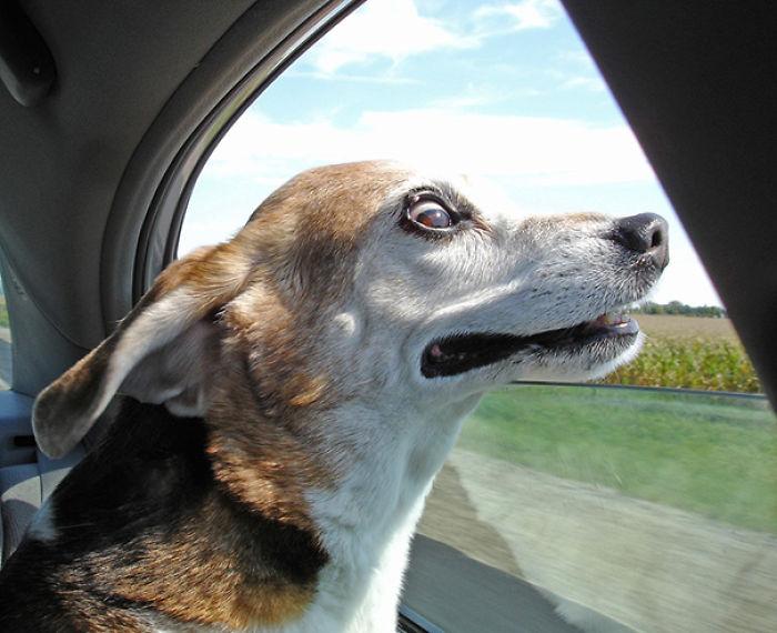 Perro con la cara asomada por la ventana de un coche con cara de sorpresa