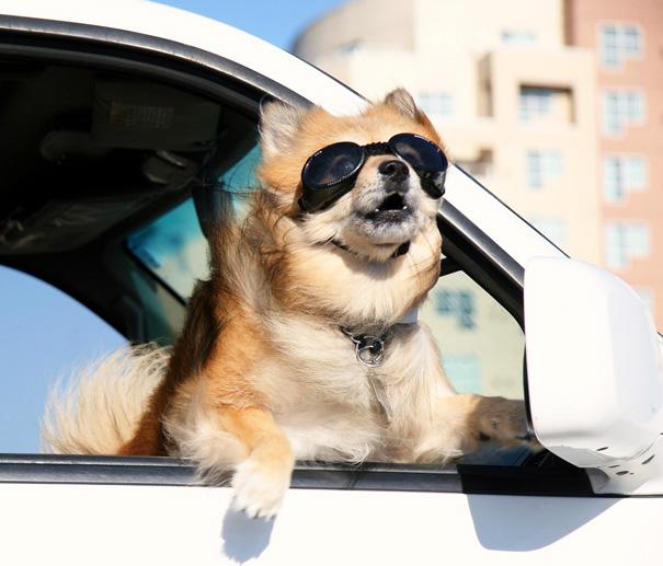 Perro con lentes sacando la cabeza por la ventana de un coche