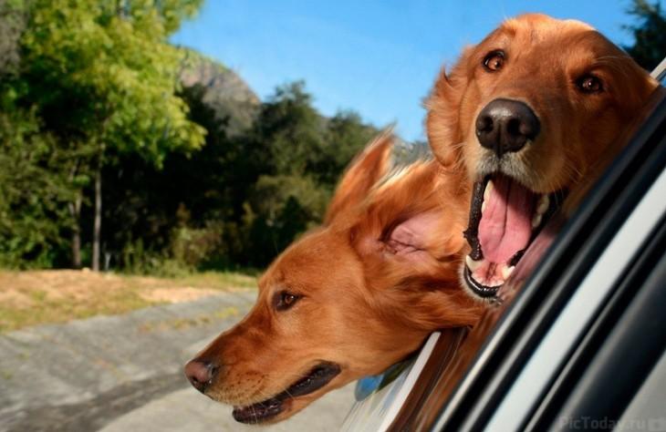 Dos perros con la cabeza de fuera en un paseo en coche
