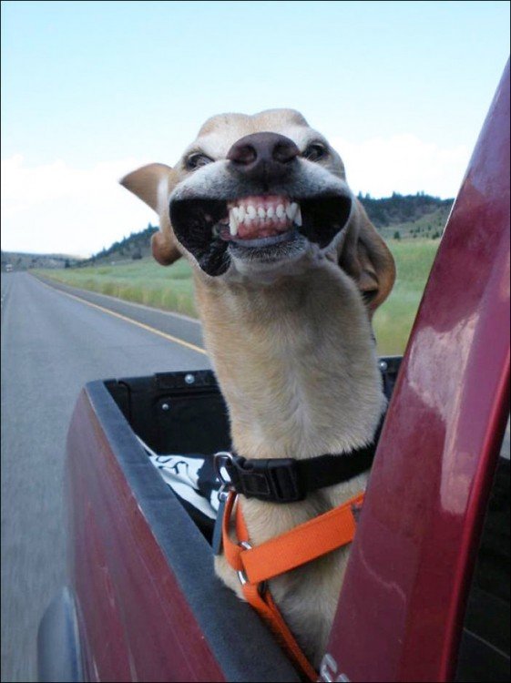 Perro en la parte trasera de una camioneta donde el aire le da en la cara