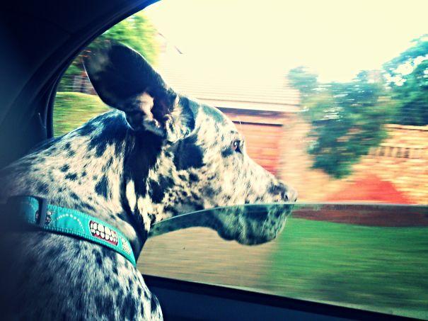 Perro con la cabeza fuera de un ventanilla de coche