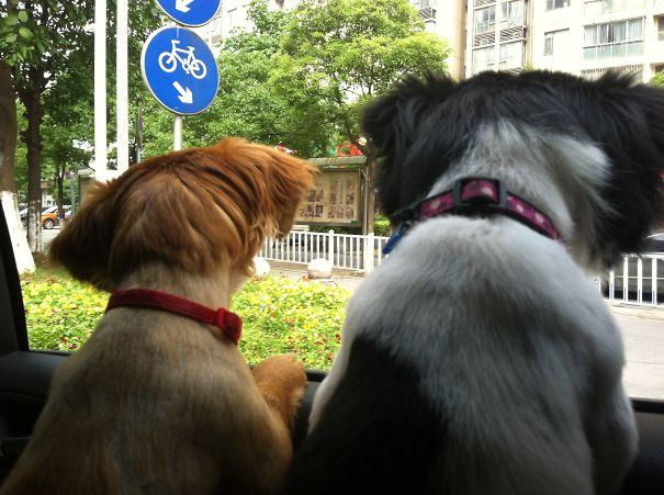 Dos perros dentro de un coche asomados por la ventanilla