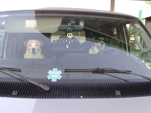 Perros sobre un auto mirando hacia enfrente