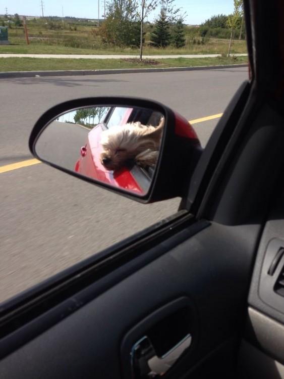 Reflejo de un pequeño perro sacando su cabeza por la ventana