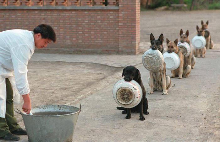 hombre a punto de servir la comida a una línea de perros sentados pacientemente con un tazón sostenido en su hocico