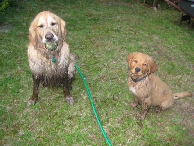 Perros en un jardín llenos de lodo