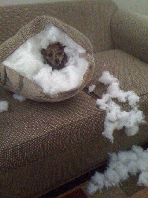 Perro dentro de un cojín destrozado