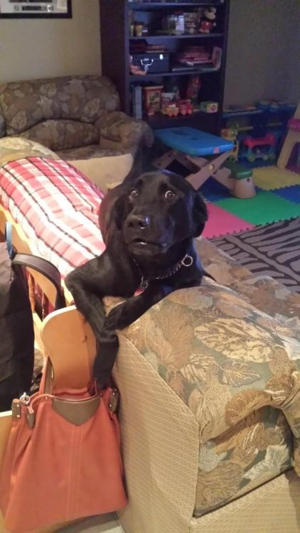 Perro arriba de un sillón simulando que va a meter sus patas en la bolsa de su dueña
