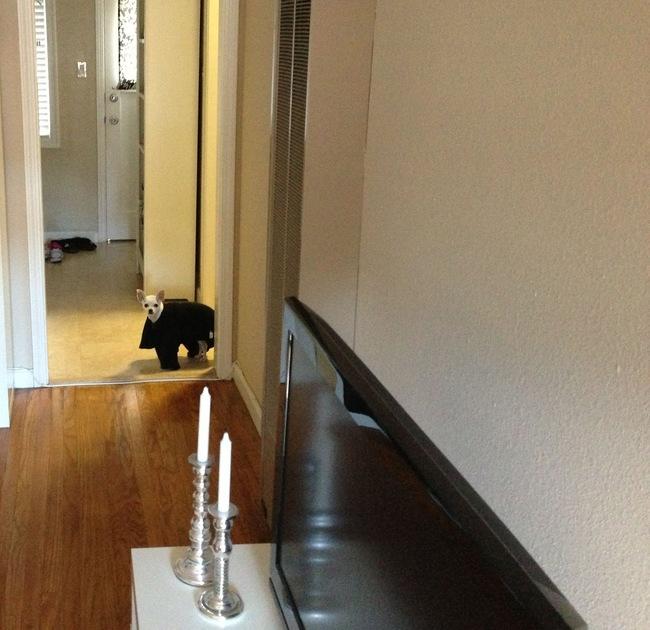 Perrito saliendo de un cuarto con una prenda de ropa encima