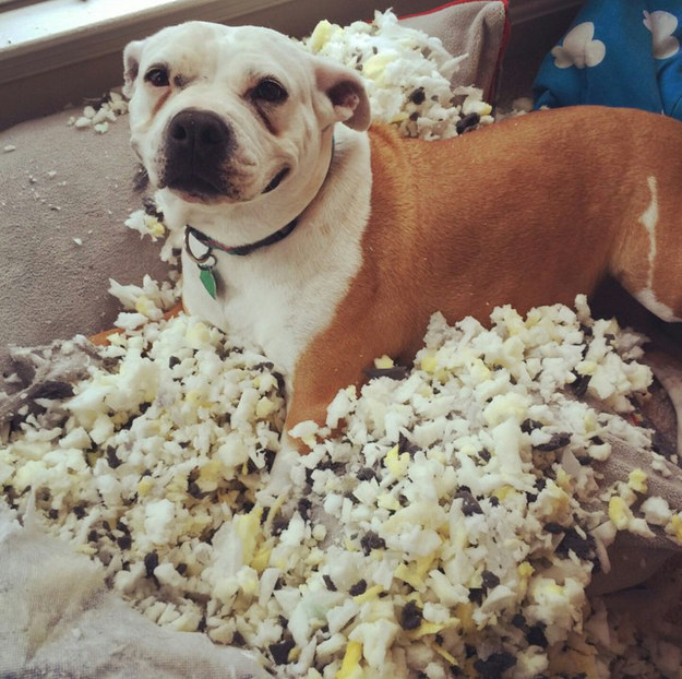 perro bulldog rodeado del contenido de un cojín destrozado por él