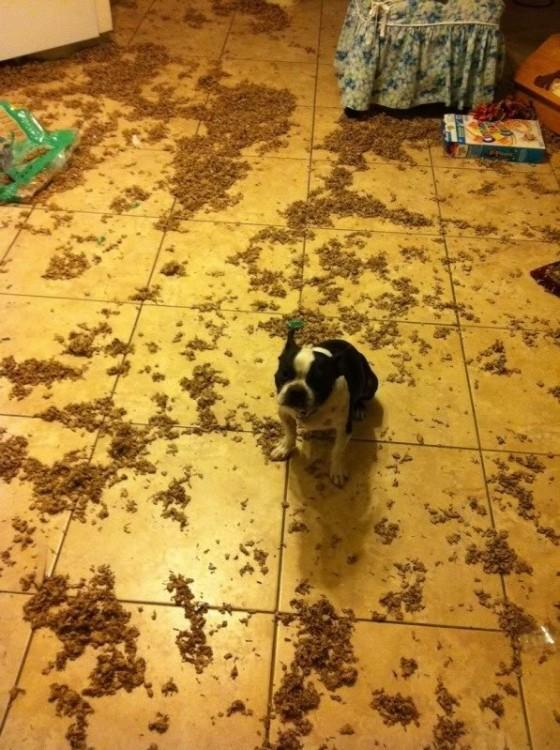 Perro bull dog con un desastre a su alrededor
