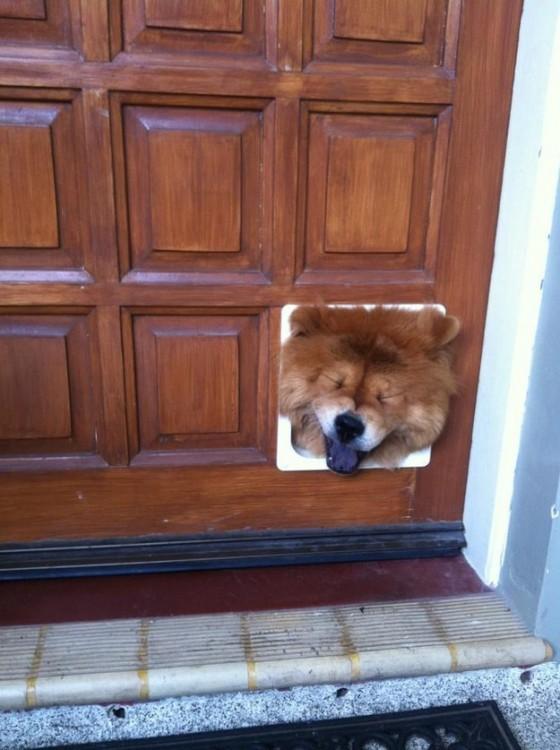 Cabeza de un perro atorada en una puerta de madera