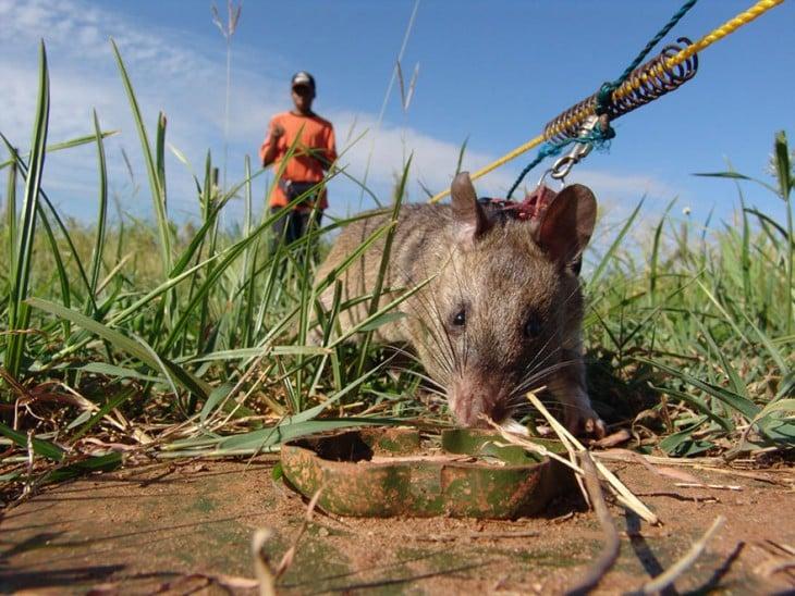Rata heroína de áfrica olfateando