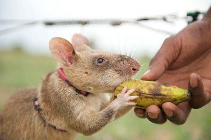 Rata heroína de áfrica comiendo plátano