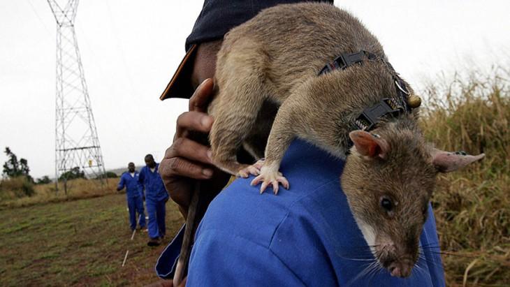 Persona cargando en su hombro a una rata heroína