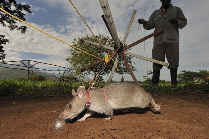Rata heroína de áfrica durante un entrenamiento
