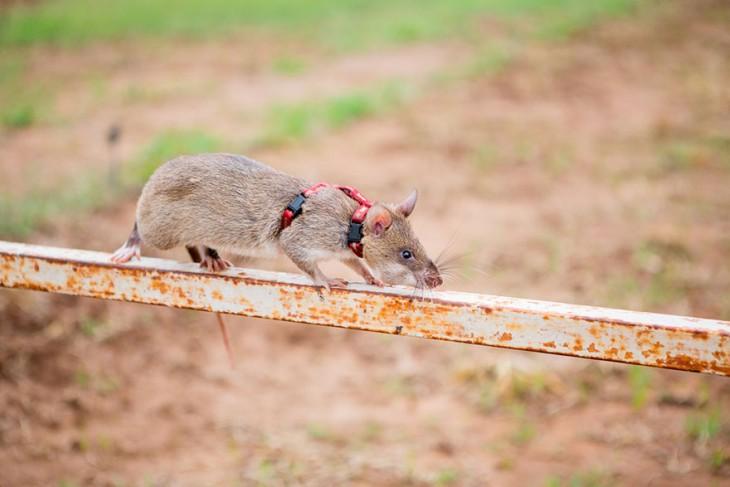 Rata heroína pasando por un tubo de metal durante su entrenamiento
