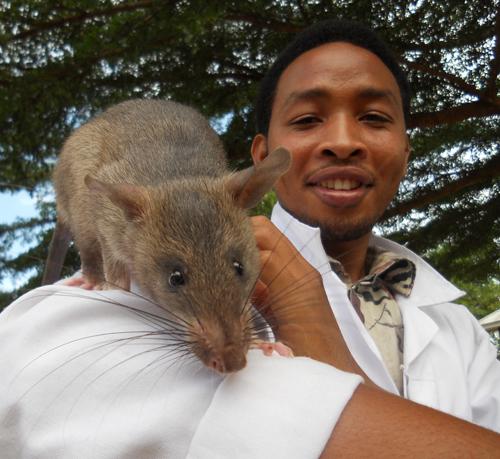 Especialista con una rata heroína de áfrica en el hombro