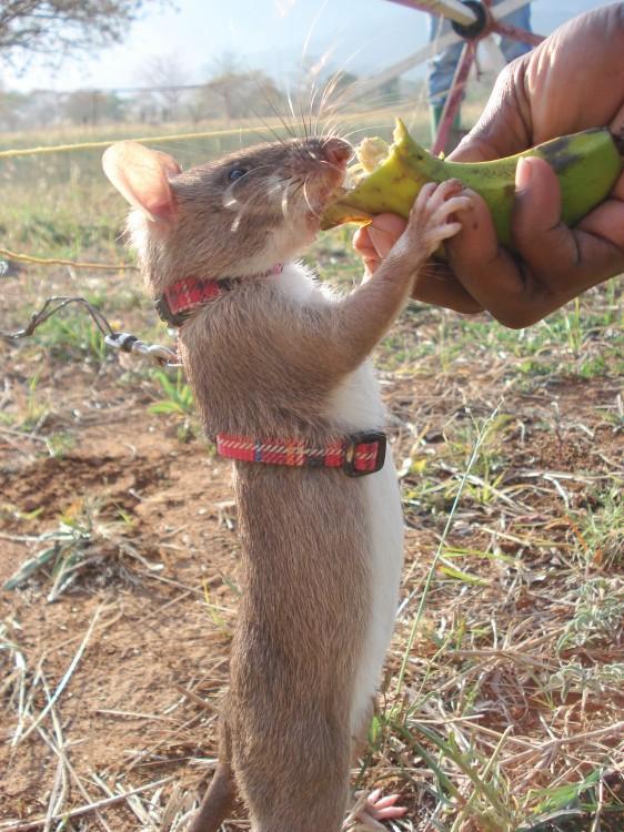 Rata heroína de áfrica comiendo un plátano