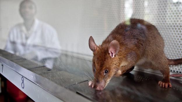 Persona entrenando a una rata heroína