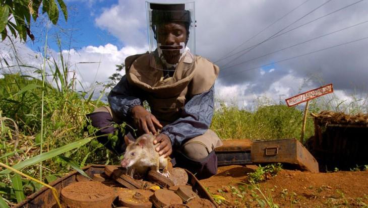 Persona adiestrando a una rata heroína en un campo a la intemperie