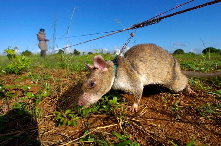 Una rata heroína en entrenamiento