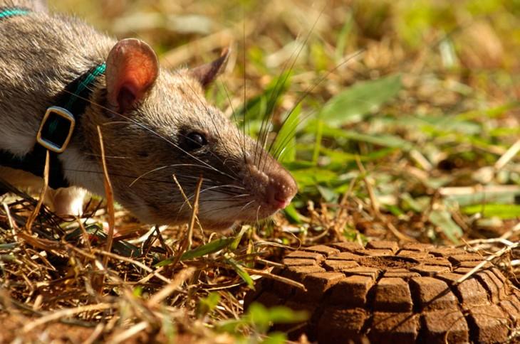 Rata heroína de áfrica olfateando la tierra
