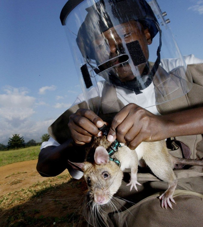 Especialista cargando a una rata heroína de áfrica
