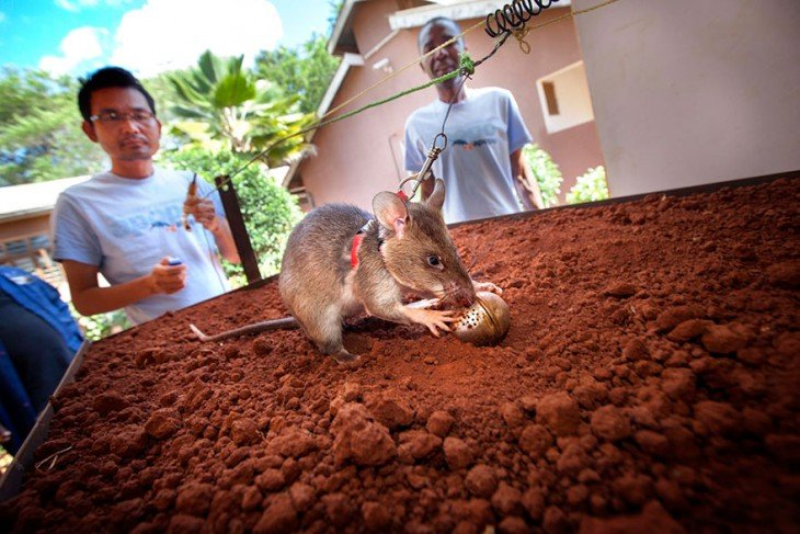Rata heroína de áfrica durante su entrenamiento.