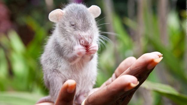 Rata heroína de áfrica sobre la mano de una persona mientras olfatea algo
