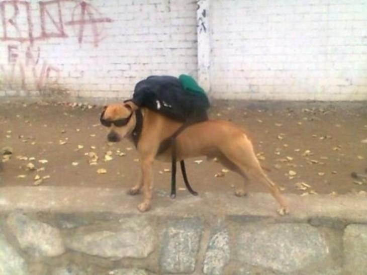 Perro con una mochila sobre su lomo y usando lentes
