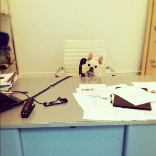 Un pequeño perro sentado en la silla de una oficina sosteniendo un teléfono