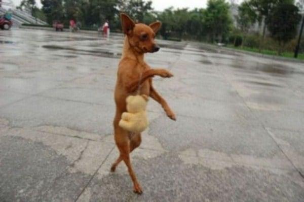 Perro parado en dos patas que simula ir caminando