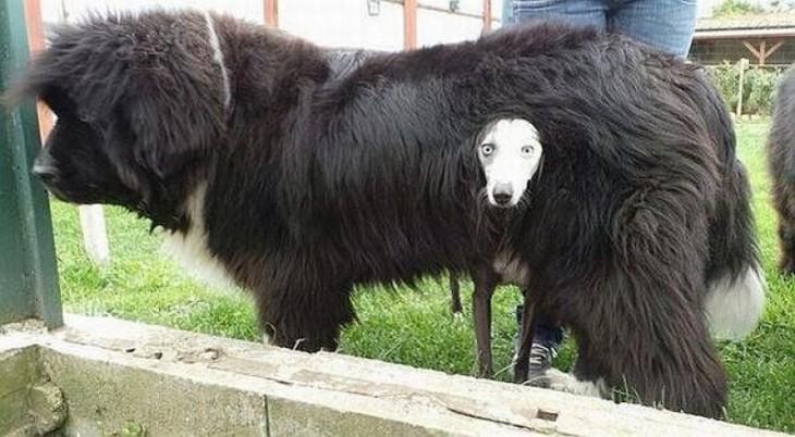 Un perro debajo de otro simulando que tiene un pelaje o abrigo