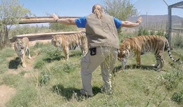 Mujer parada frente a tres tigres recreando una escena de Jurassic World