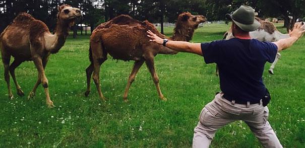 un hombre frente a 3 camellos en un zoológico