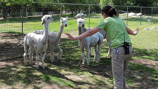 Chica en un zoológico frente a unos animales de color blanco